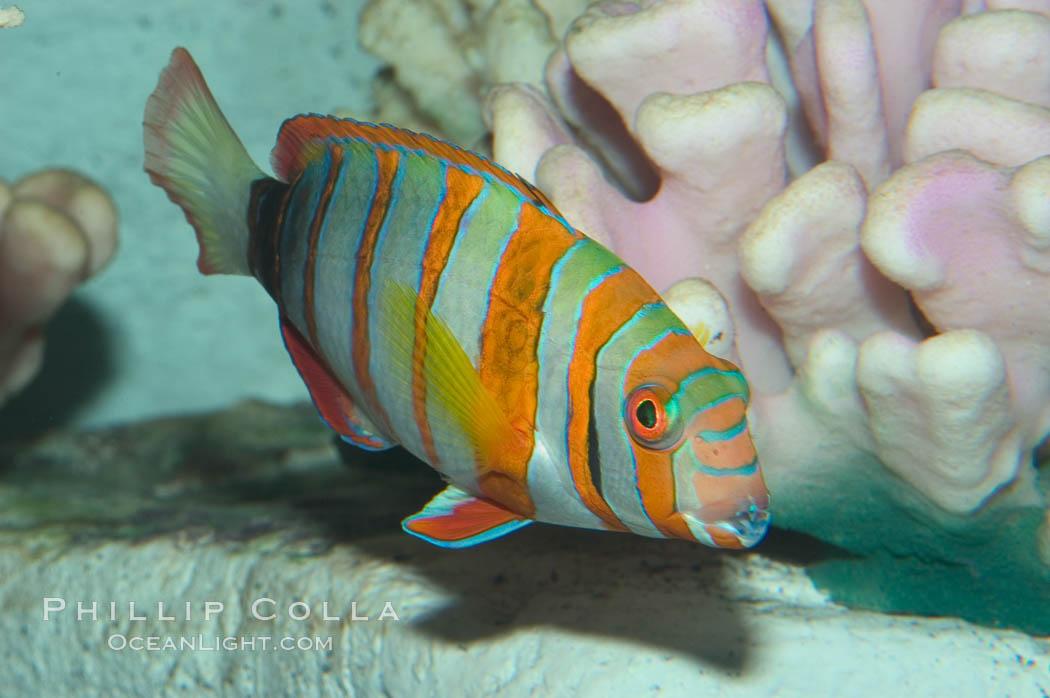 Harlequin tuskfish., Choerodon fasciatus, natural history stock photograph, photo id 07849