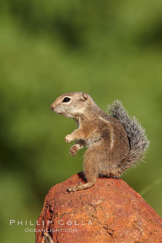 Harris' antelope squirrel. Amado, Arizona, USA, Ammospermophilus harrisii, natural history stock photograph, photo id 22900