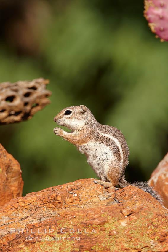 Harris' antelope squirrel. Amado, Arizona, USA, Ammospermophilus harrisii, natural history stock photograph, photo id 23060