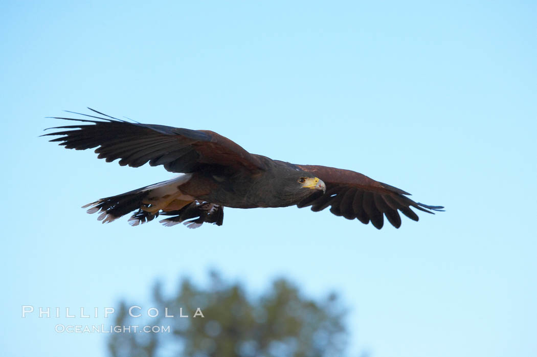 Harris hawk in flight., Parabuteo unicinctus, natural history stock photograph, photo id 12174