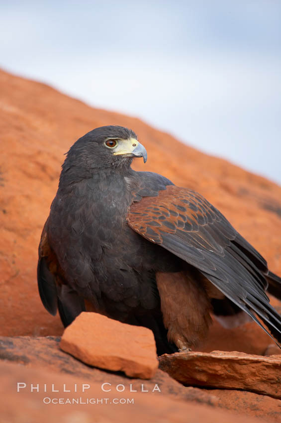 Harris hawk., Parabuteo unicinctus, natural history stock photograph, photo id 12176