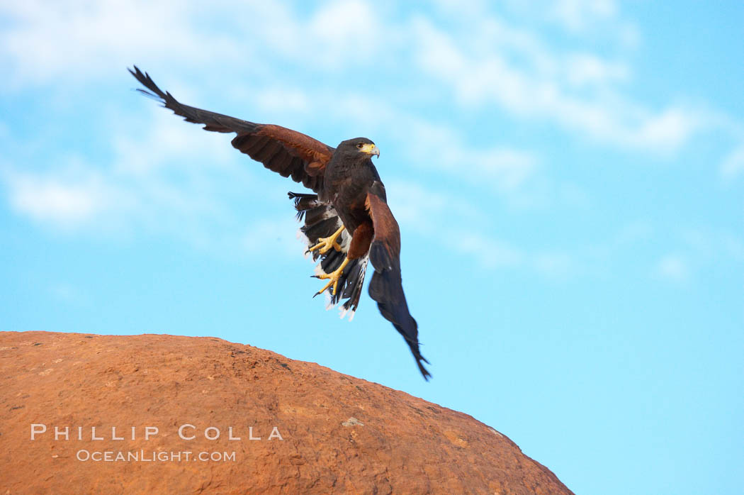 Harris hawk in flight., Parabuteo unicinctus, natural history stock photograph, photo id 12183