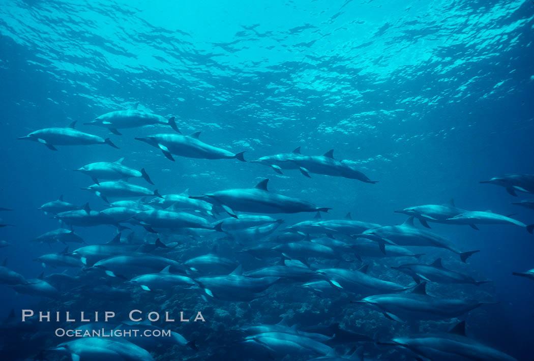 Hawaiian spinner dolphin. Lanai, Hawaii, USA, Stenella longirostris, natural history stock photograph, photo id 00106