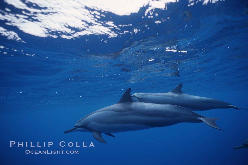 Hawaiian spinner dolphin. Lanai, Hawaii, USA, Stenella longirostris, natural history stock photograph, photo id 04982