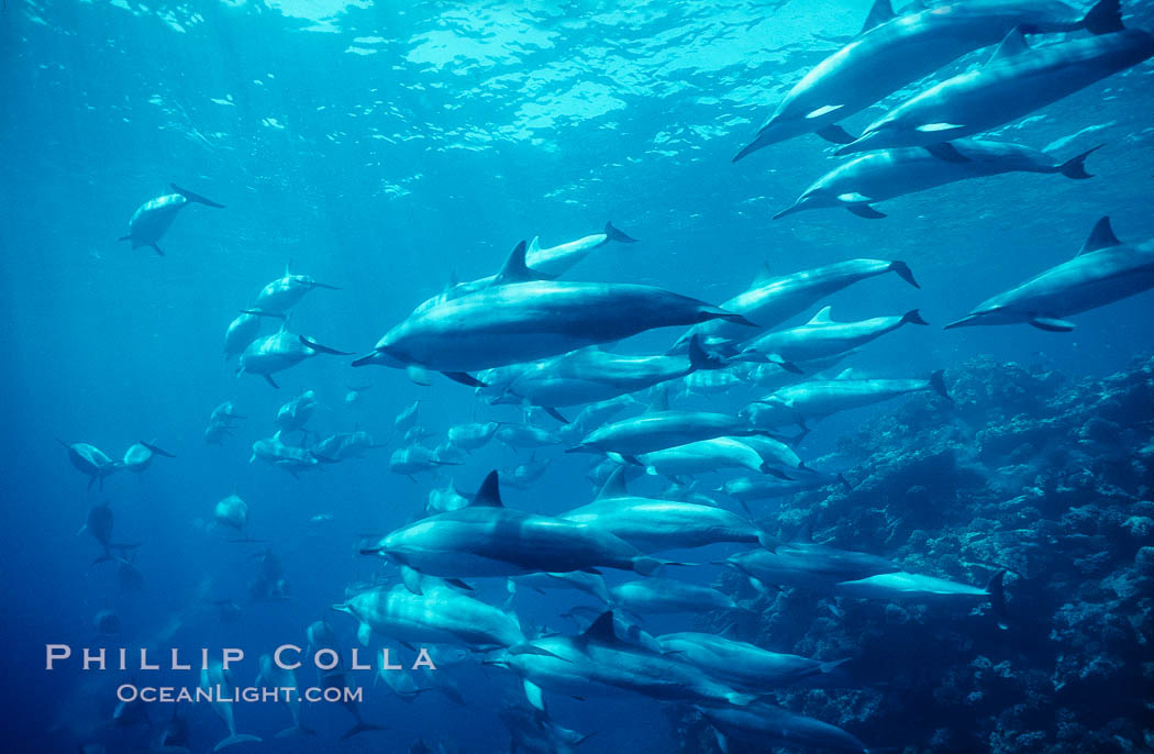 Hawaiian spinner dolphin, resting herd swimming along reef. Lanai, USA, Stenella longirostris, natural history stock photograph, photo id 00108