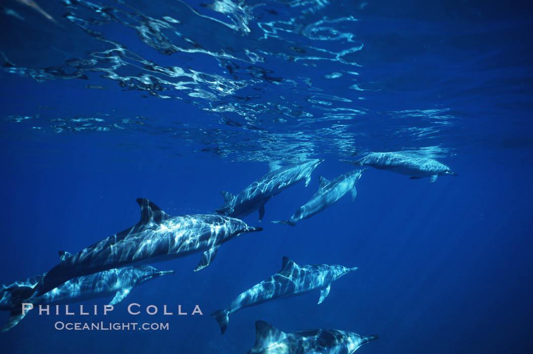 Hawaiian spinner dolphin. Lanai, Hawaii, USA, Stenella longirostris, natural history stock photograph, photo id 00319