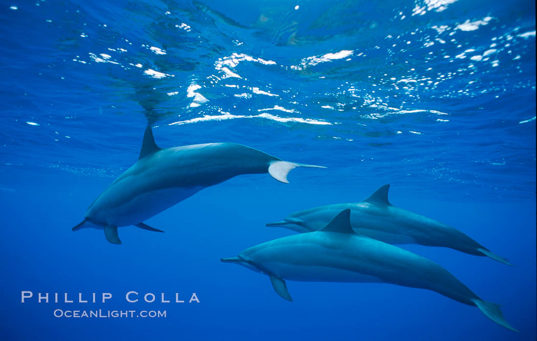 Hawaiian spinner dolphin. Lanai, Hawaii, USA, Stenella longirostris, natural history stock photograph, photo id 01161