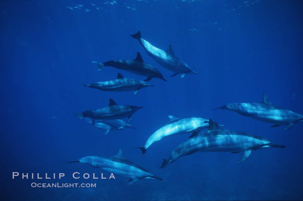 Hawaiian spinner dolphin. Lanai, Hawaii, USA, Stenella longirostris, natural history stock photograph, photo id 04981