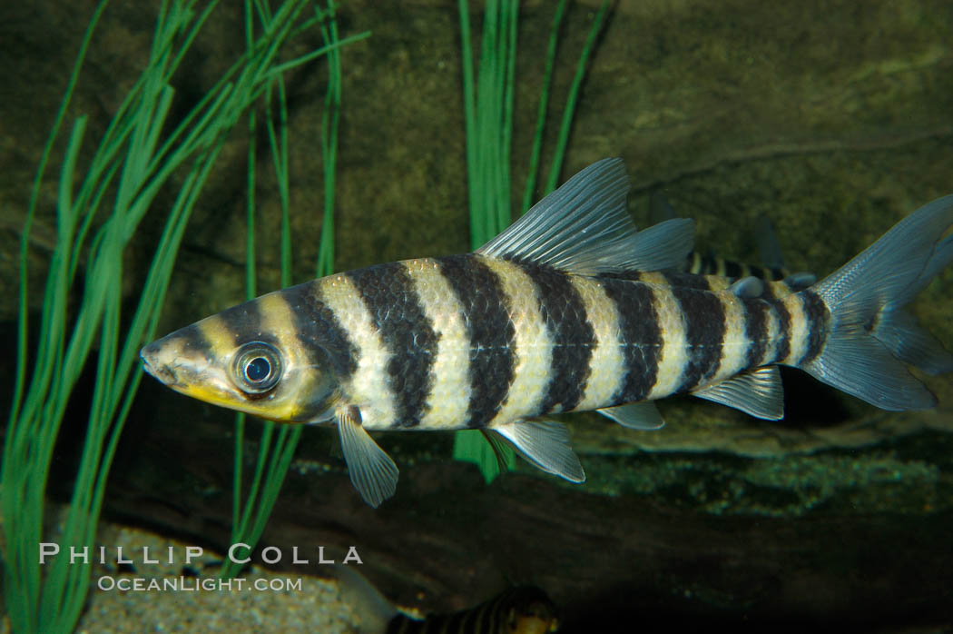 Headstander., Leporinus affinis, natural history stock photograph, photo id 09273