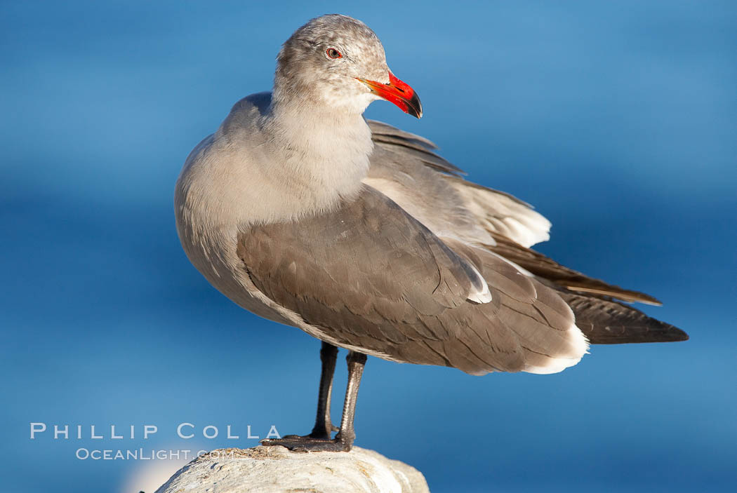 Heermanns gull, adult nonbreeding plumage. La Jolla, California, USA, Larus heermanni, natural history stock photograph, photo id 18071