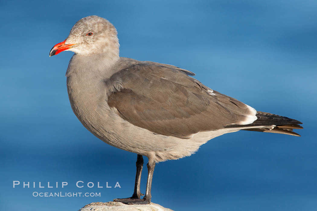 Heermanns gull, adult nonbreeding plumage. La Jolla, California, USA, Larus heermanni, natural history stock photograph, photo id 18069