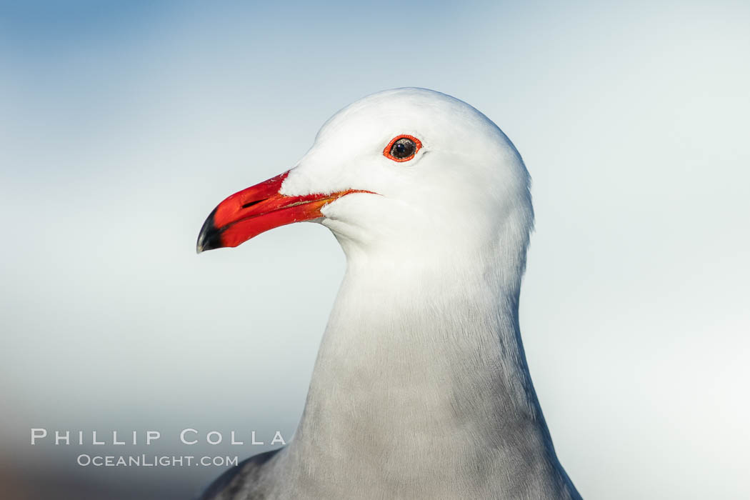 Heermanns gull portrait, La Jolla, California. USA, Larus heermanni, natural history stock photograph, photo id 36758