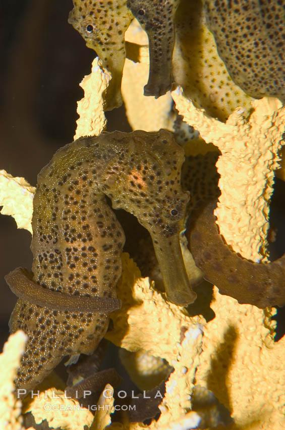 Longsnout seahorse., Hippocampus reidi, natural history stock photograph, photo id 07908