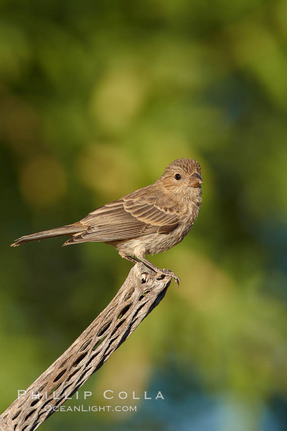 House finch, female. Amado, Arizona, USA, Carpodacus mexicanus, natural history stock photograph, photo id 22899