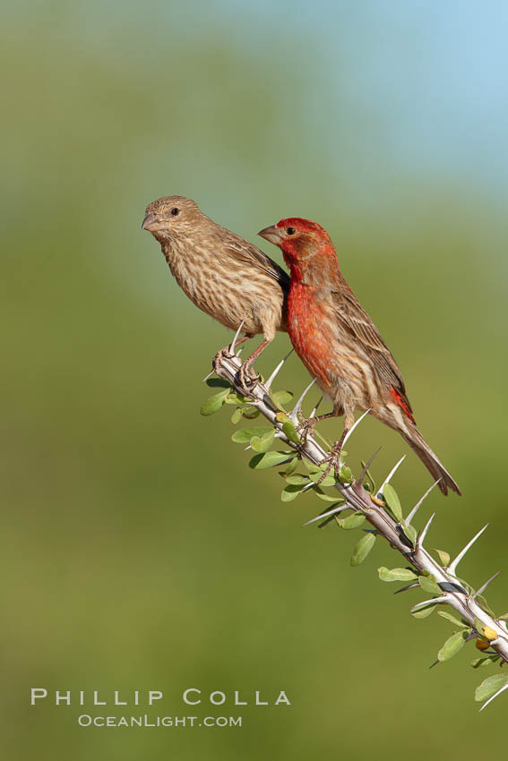 House finch, male. Amado, Arizona, USA, Carpodacus mexicanus, natural history stock photograph, photo id 23040