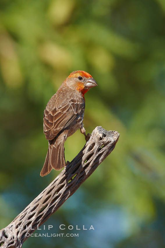 House finch, immature. Amado, Arizona, USA, Carpodacus mexicanus, natural history stock photograph, photo id 23031