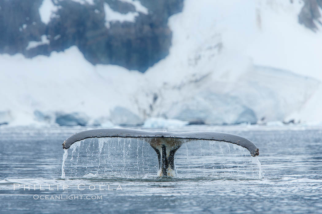 Humpback whale in Antarctica.  A humpback whale swims through the beautiful ice-filled waters of Neko Harbor, Antarctic Peninsula, Antarctica., Megaptera novaeangliae, natural history stock photograph, photo id 25668