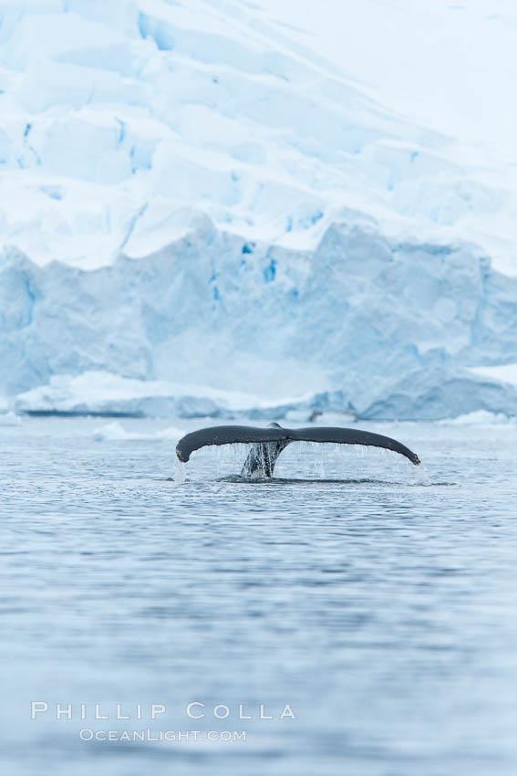 Humpback whale in Antarctica.  A humpback whale swims through the beautiful ice-filled waters of Neko Harbor, Antarctic Peninsula, Antarctica. Neko Harbor, Antarctic Peninsula, Antarctica, Megaptera novaeangliae, natural history stock photograph, photo id 25719