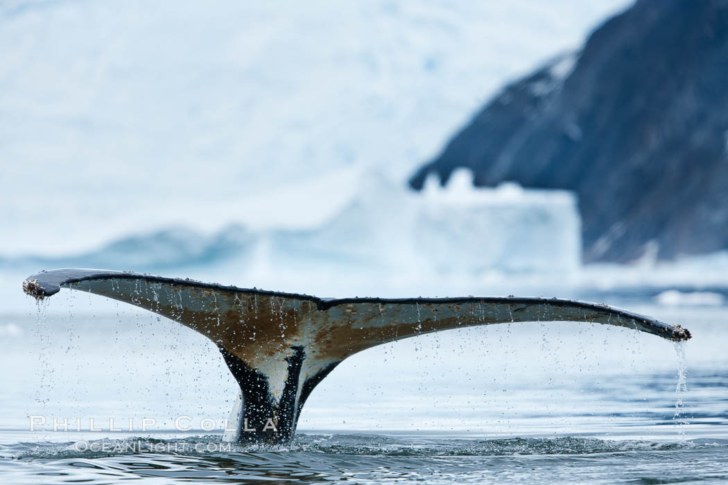 Humpback whale in Antarctica.  A humpback whale swims through the beautiful ice-filled waters of Neko Harbor, Antarctic Peninsula, Antarctica., Megaptera novaeangliae, natural history stock photograph, photo id 25727
