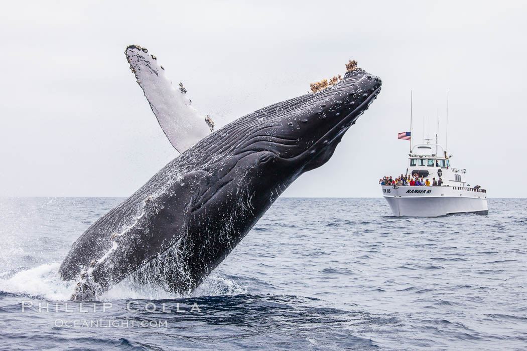 Humpback whale breaching, pectoral fin and rostrom visible. San Diego, California, USA, Megaptera novaeangliae, natural history stock photograph, photo id 27955