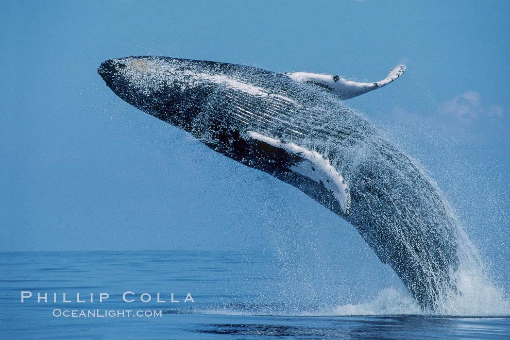 North Pacific humpback whale, breach. Maui, Hawaii, USA, Megaptera novaeangliae, natural history stock photograph, photo id 00205