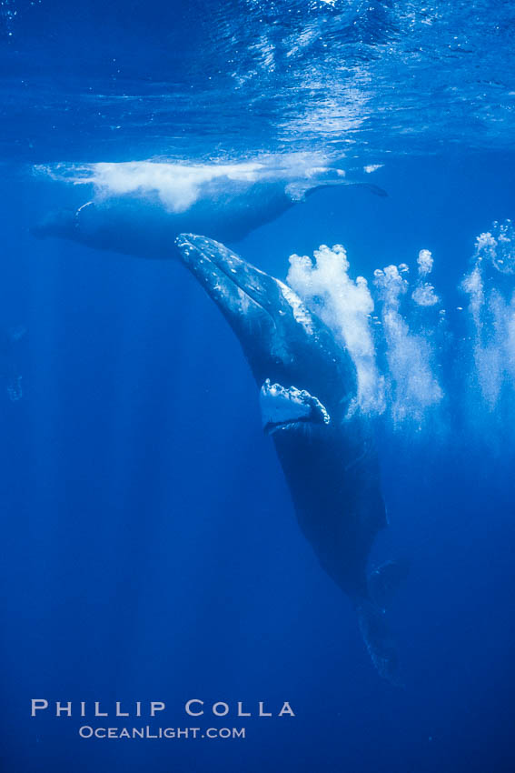 Adult male humpback whale bubble streaming underwater.  The male escort humpback whale seen here is emitting a curtain of bubbles as it swims behind a female (left) during a competitive group.  The bubble curtain may be meant as warning or visual obstruction to other male whales interested in the mother. Maui, Hawaii, USA, Megaptera novaeangliae, natural history stock photograph, photo id 02826