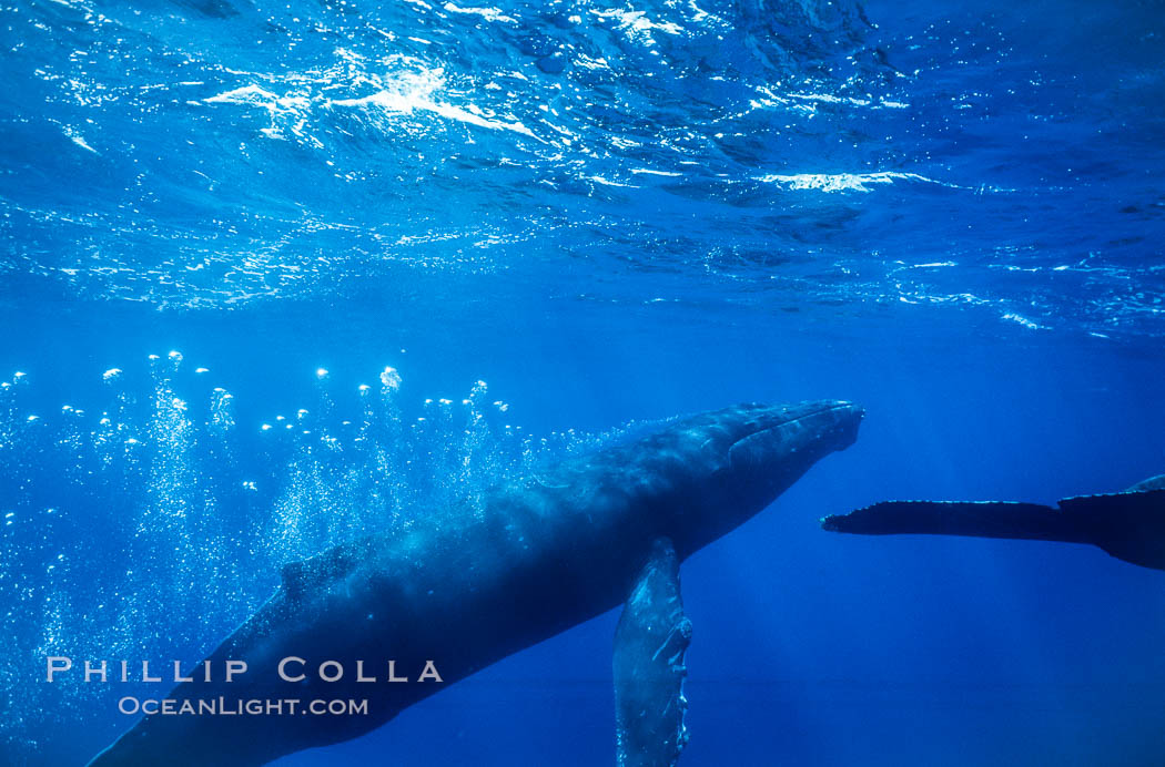 Image 04446, Adult male humpback whale bubble streaming underwater.  The male escort humpback whale seen here is emitting a curtain of bubbles as it swims behind a female during competitive group activities.  The bubble curtain may be meant as warning or visual obstruction to other nearby male whales interested in the female. Maui, Hawaii, USA, Megaptera novaeangliae