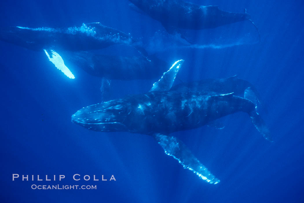 North Pacific humpback whale, competitive group with bubble streaming. Maui, Hawaii, USA, Megaptera novaeangliae, natural history stock photograph, photo id 02999