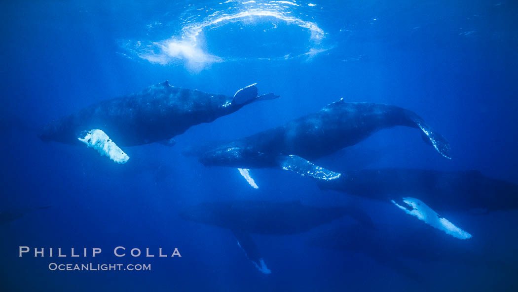 Humpback whale competitive group, several adult male escort whales swimming closely together as part of a larger competitive group. Maui, Hawaii, USA, Megaptera novaeangliae, natural history stock photograph, photo id 02864