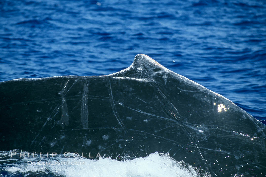 Image 04286, Humpback whale dorsal fin. Maui, Hawaii, USA, Megaptera novaeangliae, Phillip Colla / HWRF, all rights reserved worldwide. Keywords: anatomy, animal, back, balaenopteridae, cetacea, cetacean, creature, dorsal, dorsal fin, endangered, endangered threatened species, fin, hawaii, hawaiian islands, hawaiian islands humpback whale national marine sanctuary, hump back whale, humpback, humpback whale, humpbacked whale, mammal, marine, marine mammal, maui, megaptera, megaptera novaeangliae, mysticete, mysticeti, national marine sanctuaries, nature, north pacific humpback whale, novaeangliae, ocean, oceans, pacific, research, rorqual, sea, usa, whale, whale anatomy, whale dorsal fin, wildlife.   NOTE:  This photograph was taken during Hawaii Whale Research Foundation research activities conducted under NOAA/NMFS and State of Hawaii permit.   Its use is subject to certain restrictions.   Please contact the photographer for more information.