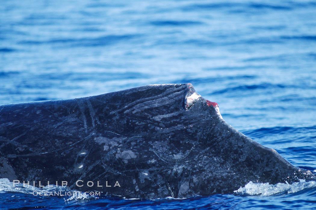 Humpback whale dorsal fin damaged during competitive group socializing. Maui, Hawaii, USA, Megaptera novaeangliae, natural history stock photograph, photo id 04334