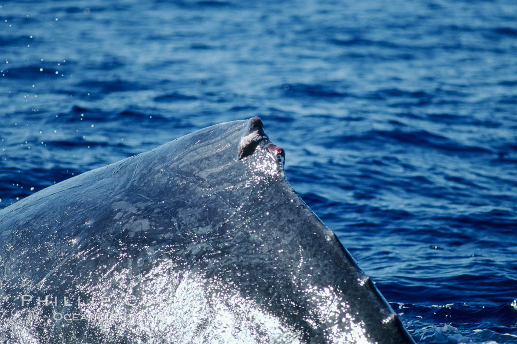 Humpback whale dorsal fin damaged during competitive group socializing. Maui, Hawaii, USA, Megaptera novaeangliae, natural history stock photograph, photo id 04340