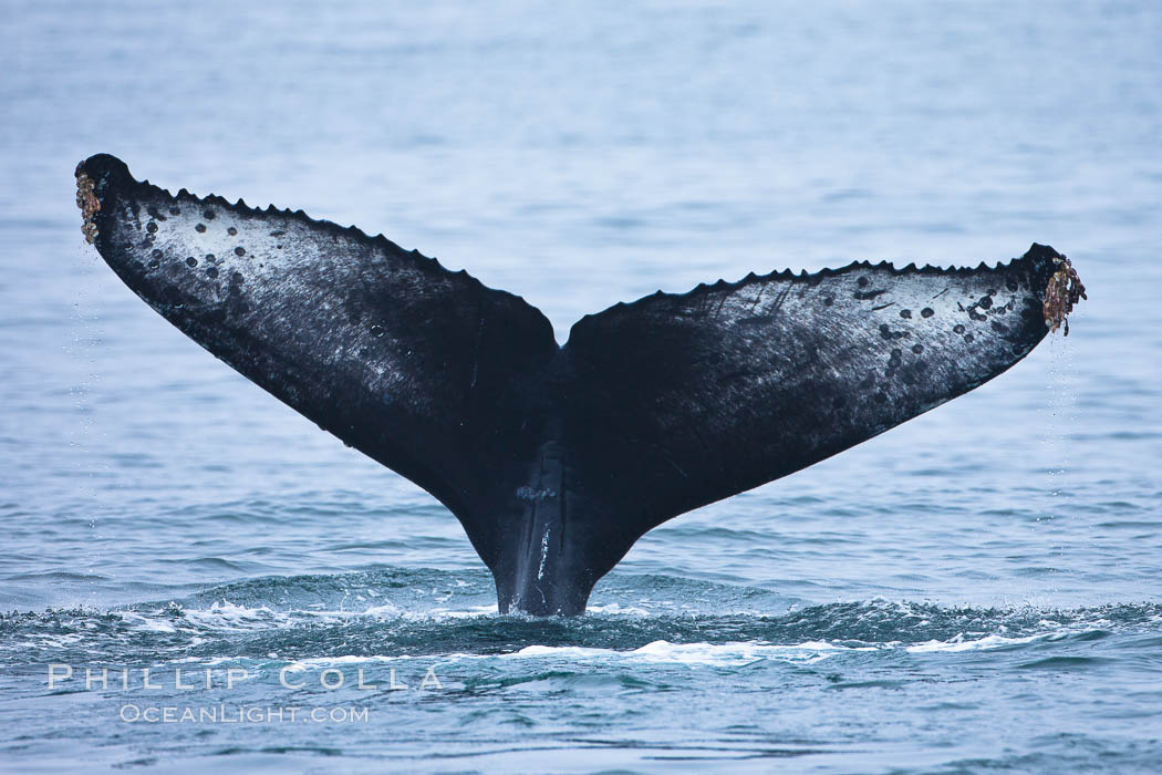 Perfect view of the ventral surface of a humpback whales fluke, as the whale raises its fluke just before diving underwater.  The white patches and scalloping along the trailing edge of the fluke make this whale identifiable when it is observed from year to year. Santa Rosa Island, California, USA, Megaptera novaeangliae, natural history stock photograph, photo id 27031