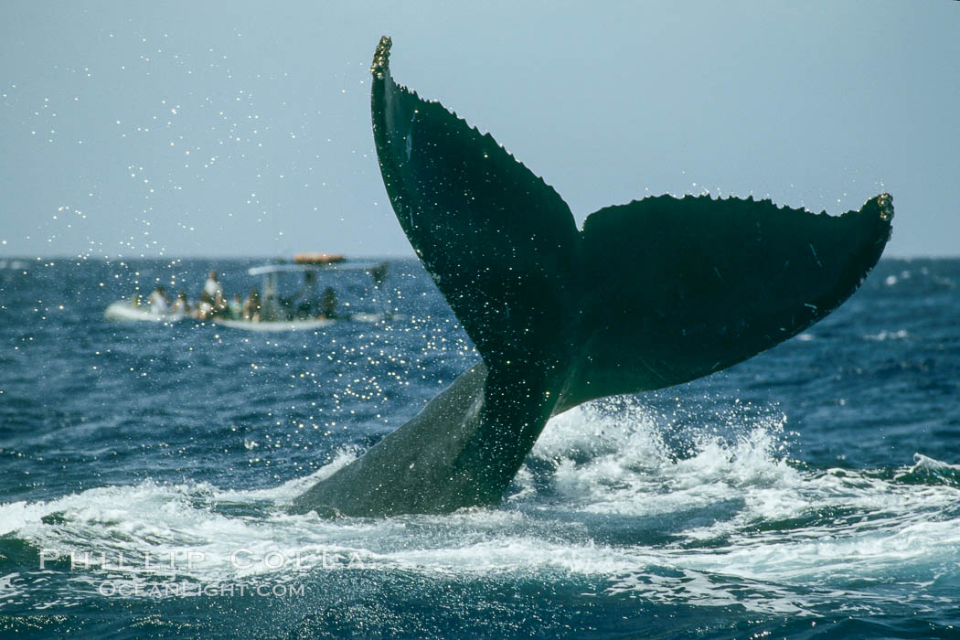 North Pacific humpback whale, fluke help aloft above the water. Maui, Hawaii, USA, Megaptera novaeangliae, natural history stock photograph, photo id 01468