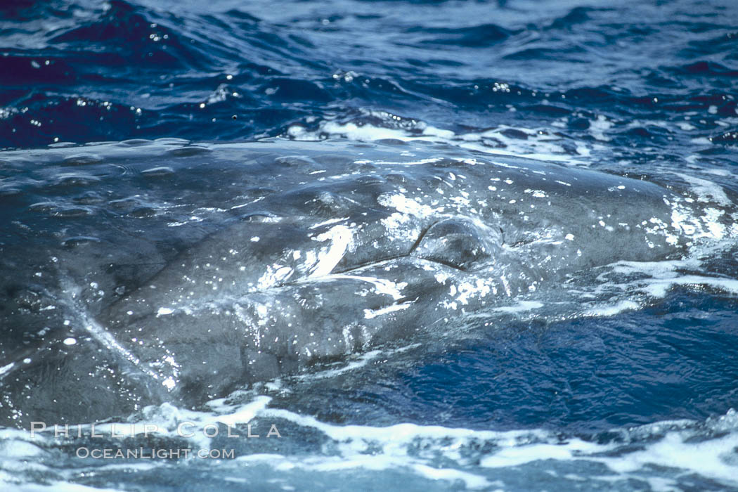 Image 04311, Humpback whale genital slit, hemispherical lobe. Maui, Hawaii, USA, Megaptera novaeangliae, Phillip Colla / HWRF, all rights reserved worldwide. Keywords: anatomy, animal, balaenopteridae, cetacea, cetacean, courtship, creature, endangered, endangered threatened species, genital organs, genital slit, genitals, hawaii, hawaiian islands, hawaiian islands humpback whale national marine sanctuary, hemispherical lobe, hump back whale, humpback, humpback whale, humpbacked whale, mammal, marine, marine mammal, maui, megaptera, megaptera novaeangliae, mysticete, mysticeti, national marine sanctuaries, nature, north pacific humpback whale, novaeangliae, ocean, oceans, pacific, reproduction, research, rorqual, sea, sexual reproduction, usa, whale, whale anatomy, whale genital organs, wildlife.   NOTE:  This photograph was taken during Hawaii Whale Research Foundation research activities conducted under NOAA/NMFS and State of Hawaii permit.   Its use is subject to certain restrictions.   Please contact the photographer for more information.