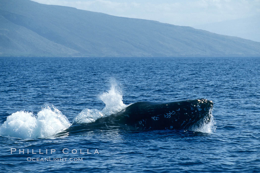 Image 04016, Humpback whale, head lunge in active group. Maui, Hawaii, USA, Megaptera novaeangliae, Phillip Colla / HWRF, all rights reserved worldwide. Keywords: action, animal, balaenopteridae, behavior, cetacea, cetacean, creature, endangered, endangered threatened species, hawaii, hawaiian islands, hawaiian islands humpback whale national marine sanctuary, head lunge, hump back whale, humpback, humpback whale, humpbacked whale, lunge, mammal, marine, marine mammal, maui, megaptera, megaptera novaeangliae, mysticete, mysticeti, national marine sanctuaries, nature, north pacific humpback whale, novaeangliae, ocean, oceans, pacific, research, rorqual, rostrum, sea, usa, whale, whale behavior, whale blow spout, whale lunging, wildlife.   NOTE:  This photograph was taken during Hawaii Whale Research Foundation research activities conducted under NOAA/NMFS and State of Hawaii permit.   Its use is subject to certain restrictions.   Please contact the photographer for more information.