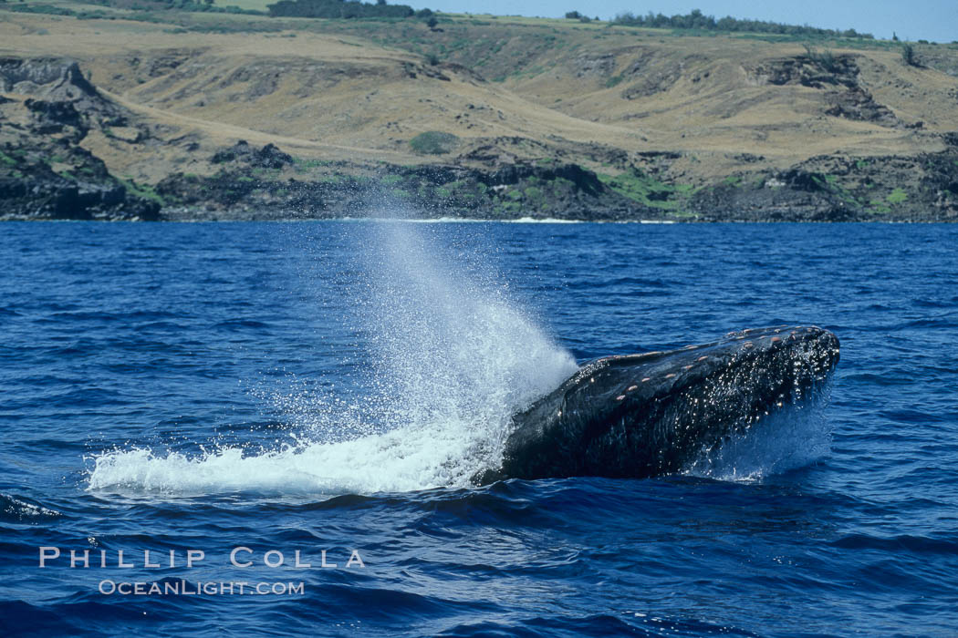 Humpback whale head lunging, showing bleeding tubercles caused by collisions with other whales, rostrum extended out of the water, exhaling at the surface, exhibiting surface active social behaviours. Molokai, Hawaii, USA, Megaptera novaeangliae, natural history stock photograph, photo id 04084