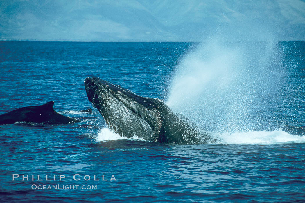 Humpback whale lunging out of the water at it reaches the surface, exhaling in a burst of bubbles. Maui, Hawaii, USA, Megaptera novaeangliae, natural history stock photograph, photo id 01403