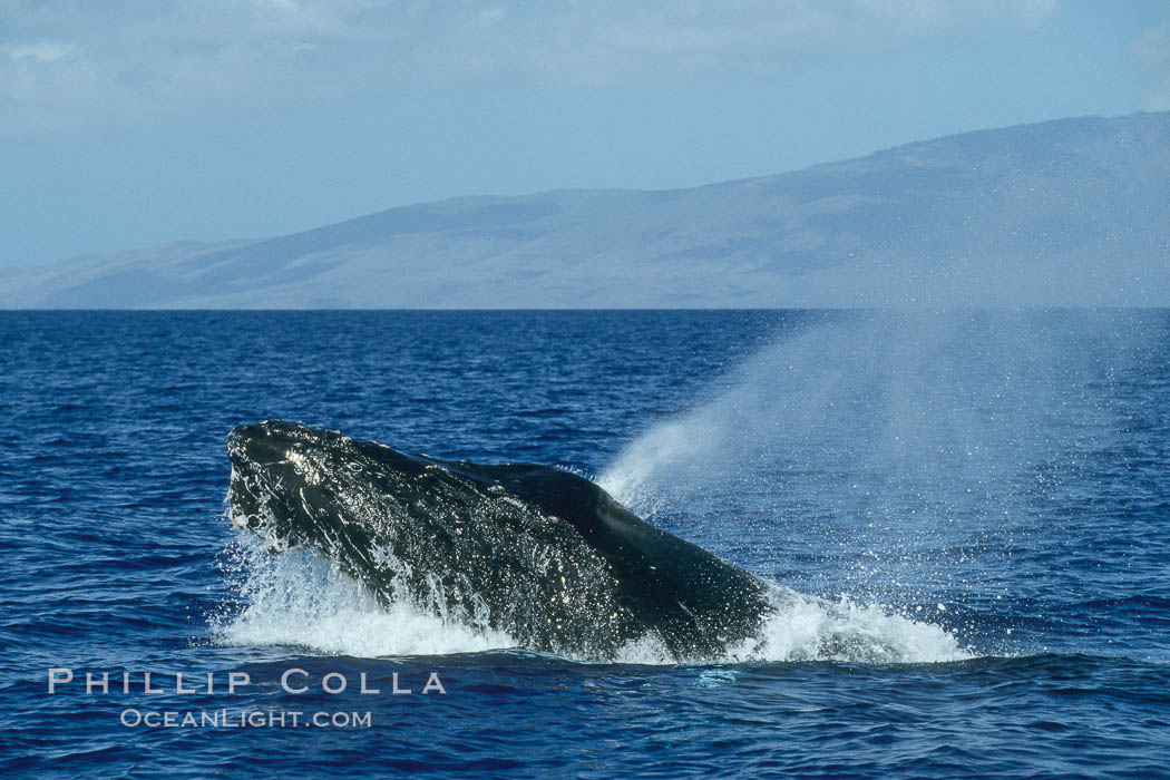 Humpback whale, head lunge in active group. Maui, Hawaii, USA, Megaptera novaeangliae, natural history stock photograph, photo id 04023