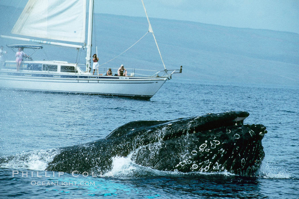North Pacific humpback whale at the surface with open mouth and inflated throat, in front of whale watching boat. Maui, Hawaii, USA, Megaptera novaeangliae, natural history stock photograph, photo id 00985