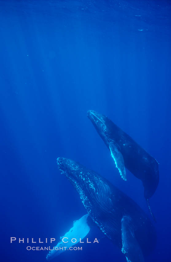 North Pacific humpback whale, mother and calf. Maui, Hawaii, USA, natural history stock photograph, photo id 05962