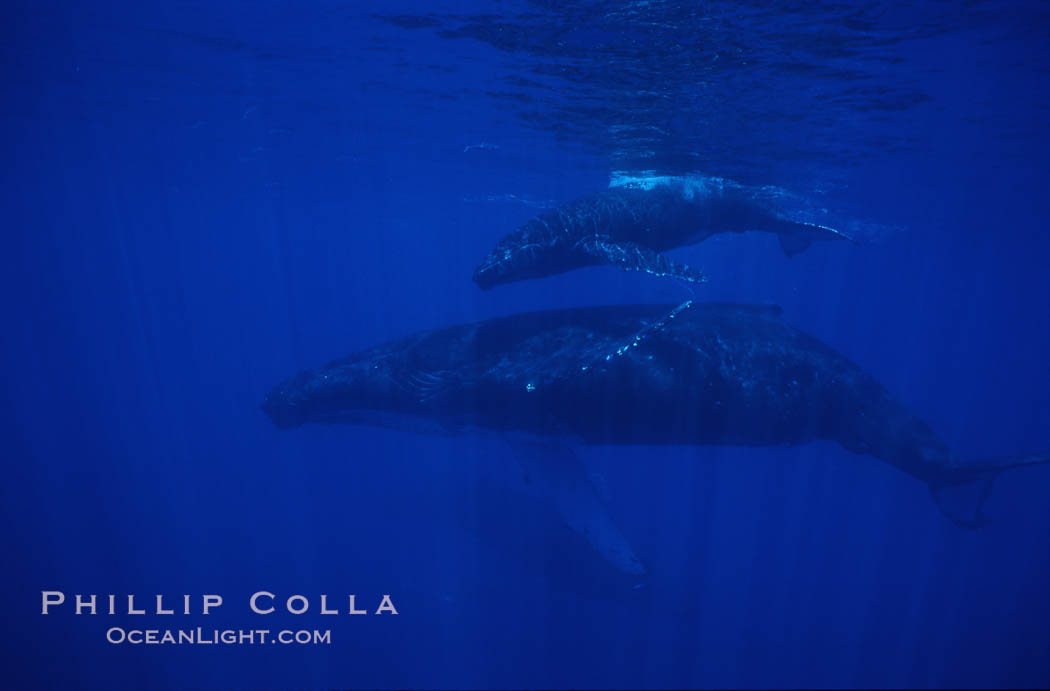 Image 01240, North Pacific humpback whale, mother and calf. Maui, Hawaii, USA, Megaptera novaeangliae