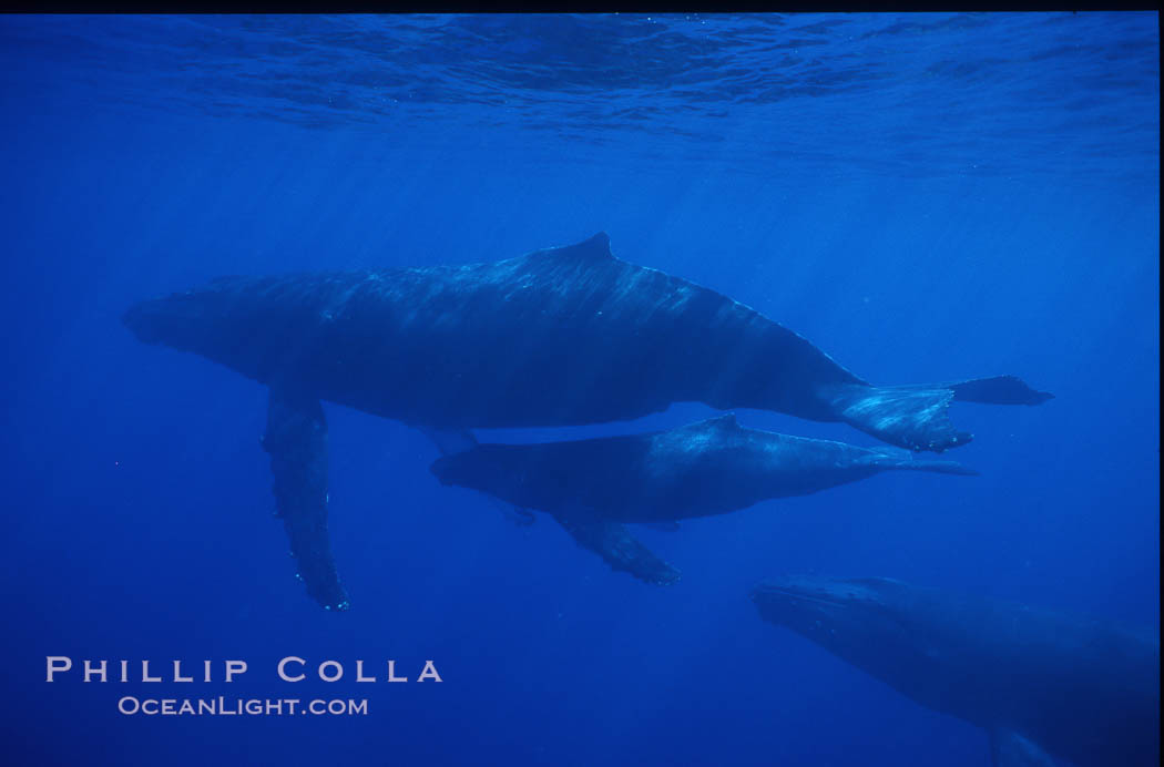 Humpback whale mother, calf and escort. Maui, Hawaii, USA, Megaptera novaeangliae, natural history stock photograph, photo id 04536