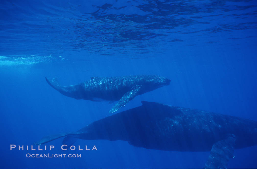 Image 01239, North Pacific humpback whale, mother and calf. Maui, Hawaii, USA, Megaptera novaeangliae, Phillip Colla / HWRF, all rights reserved worldwide. Keywords: animal, baby, balaenopteridae, baleen, calf, cetacea, cetacean, endangered, endangered threatened species, hawaii, hawaiian islands, hump back whale, humpback, humpback whale, humpbacked whale, juvenile, mammal, marine, marine mammal, maui, megaptera, megaptera novaeangliae, mysticete, mysticeti, nature, north pacific humpback whale, novaeangliae, ocean, research, rorqual, sea, underwater, usa, whale, wildlife, young.   NOTE:  This photograph was taken during Hawaii Whale Research Foundation research activities conducted under NOAA/NMFS and State of Hawaii permit. Its use is subject to certain restrictions. Please contact the photographer for more information.