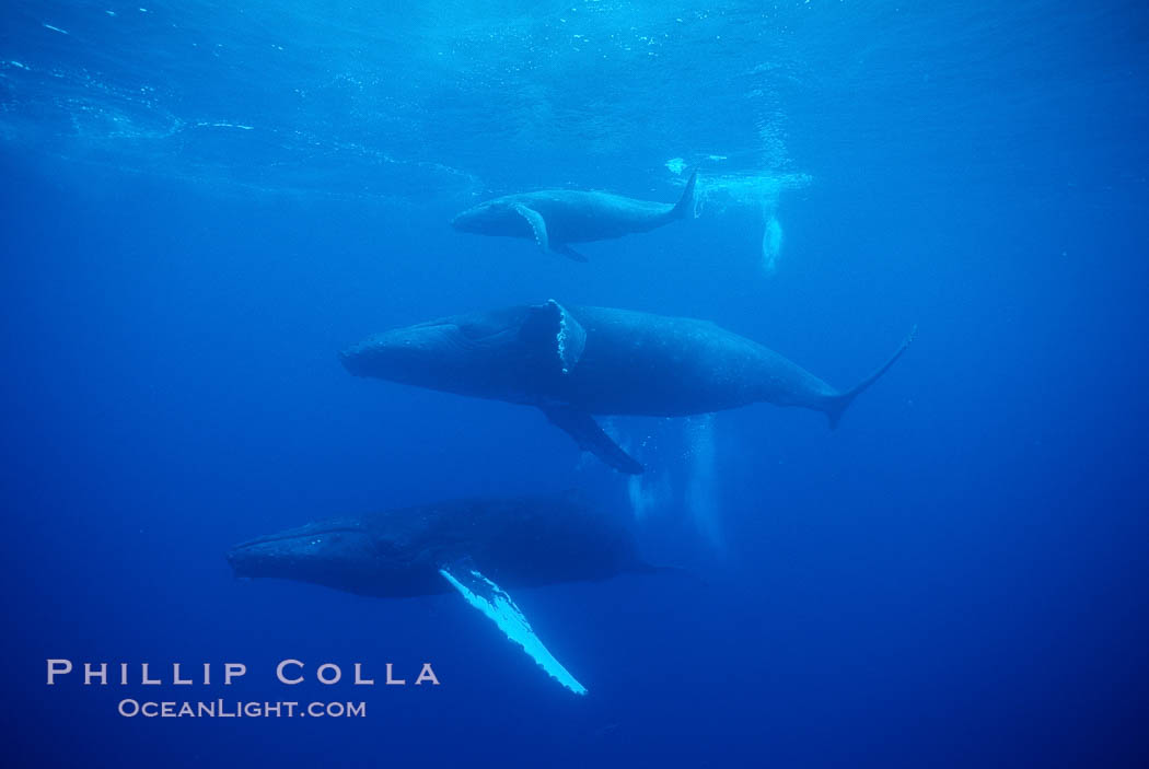 North Pacific humpback whale, mother (middle), calf (top) and escort (bottom). Maui, Hawaii, USA, Megaptera novaeangliae, natural history stock photograph, photo id 01295