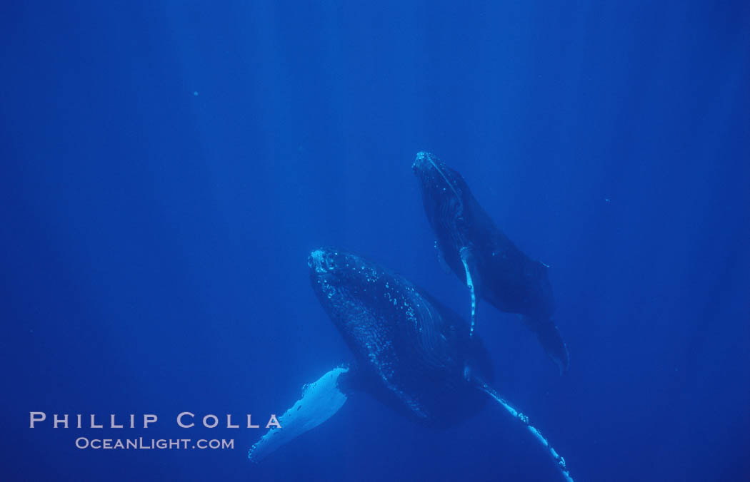 North Pacific humpback whale, mother and calf. Maui, Hawaii, USA, Megaptera novaeangliae, natural history stock photograph, photo id 05961