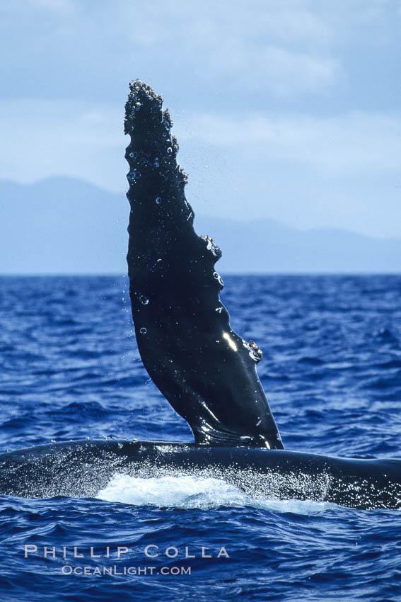 Humpback whale swimming with raised pectoral fin (dorsal aspect). Maui, Hawaii, USA, Megaptera novaeangliae, natural history stock photograph, photo id 04142