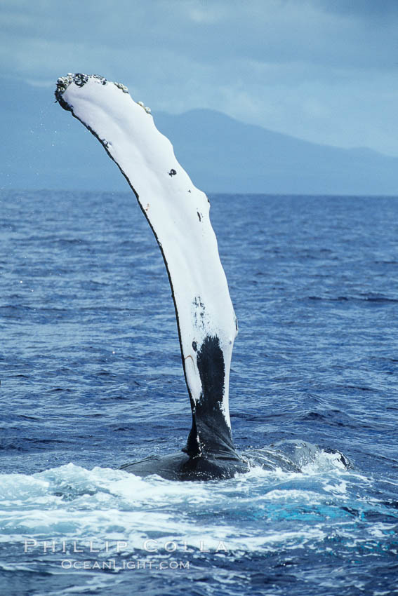 Humpback whale swimming with raised pectoral fin (ventral aspect). Maui, Hawaii, USA, Megaptera novaeangliae, natural history stock photograph, photo id 04132