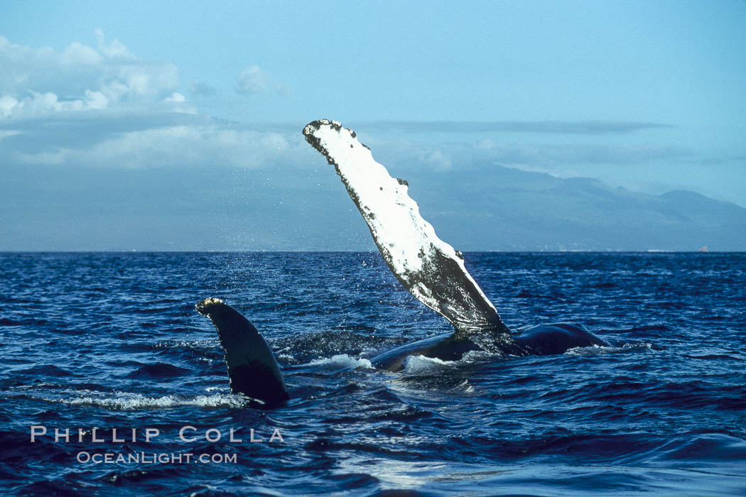 Humpback whale swimming with raised pectoral fin (ventral aspect). Maui, Hawaii, USA, Megaptera novaeangliae, natural history stock photograph, photo id 04148
