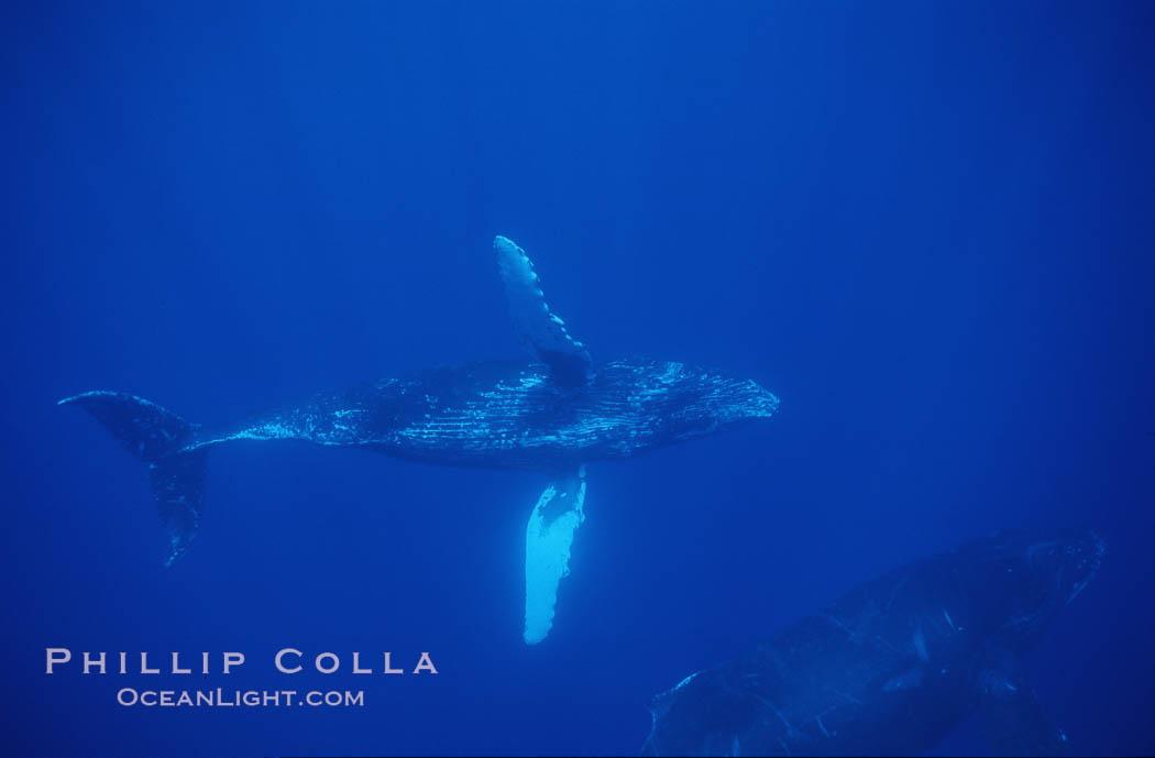 Humpback whale turning with pectoral fins. Maui, Hawaii, USA, Megaptera novaeangliae, natural history stock photograph, photo id 04452